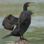 Rekordowa liczebność kormoranów