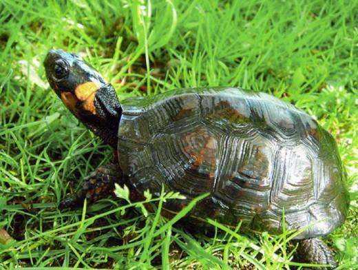 Żółw torfowiskowy (Glyptemys muhlenbergii syn. Clemmys muhlenbergii) - gatunek gada z rodziny żółwi błotnych.