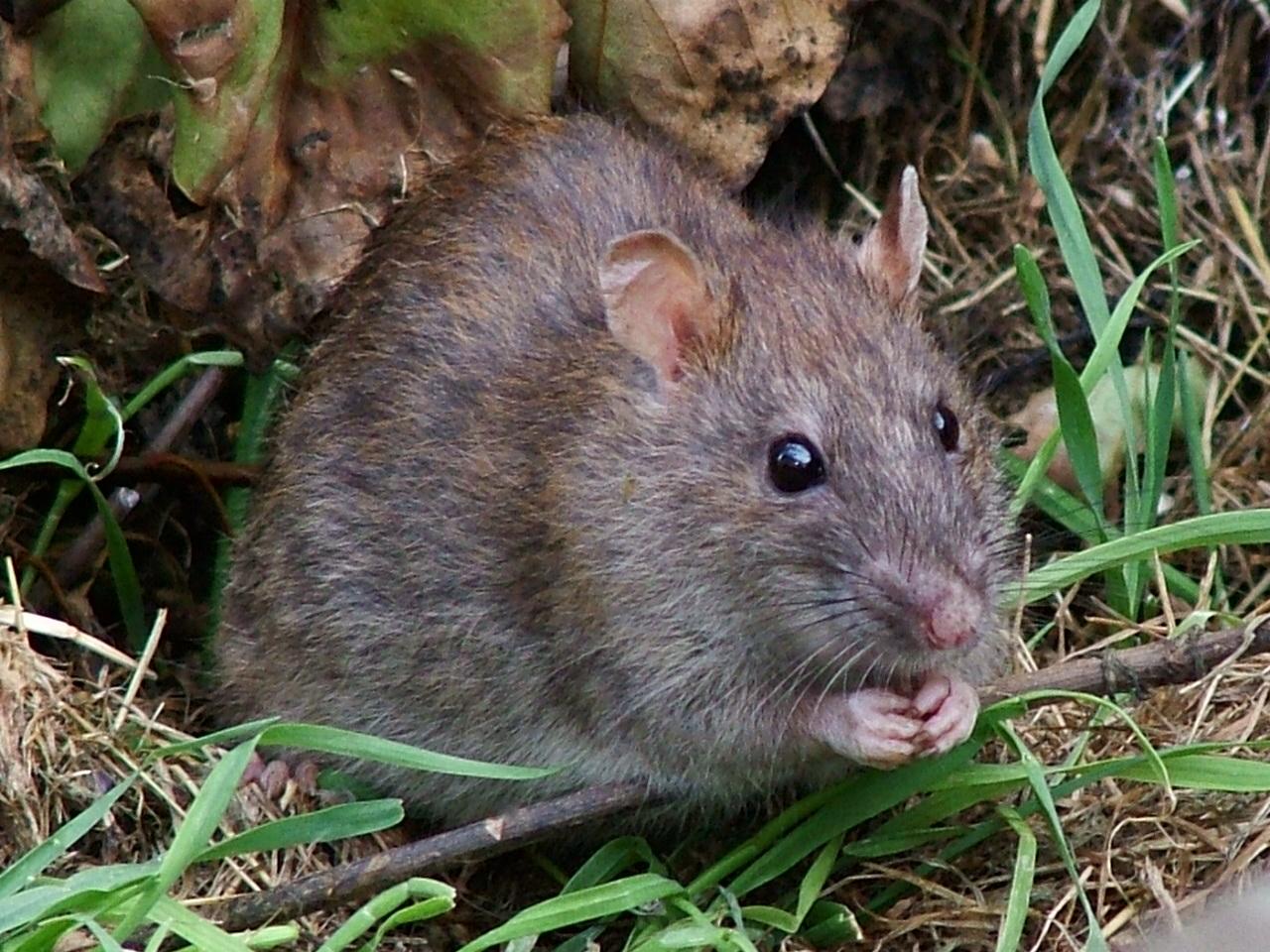 Szczury są wieczne